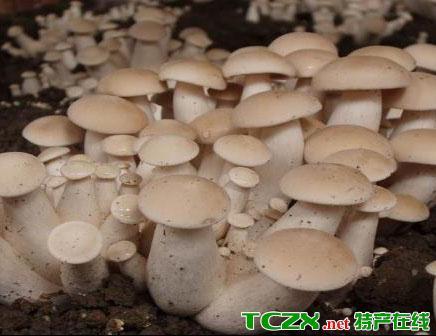 西张庄食用菌