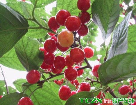郑州樱桃沟樱桃