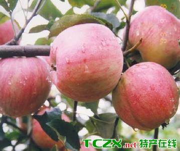 早熟无公害苹果