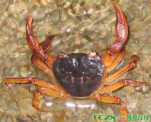 茅山马口螃蟹