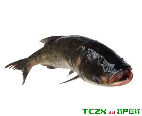 望天湖胖头鱼