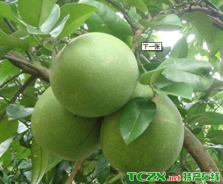 复兴苹果柚