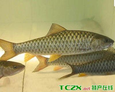 龙州青竹鱼