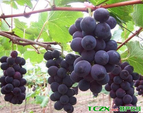 黑山谷葡萄