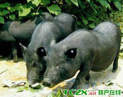 潼南罗盘山猪