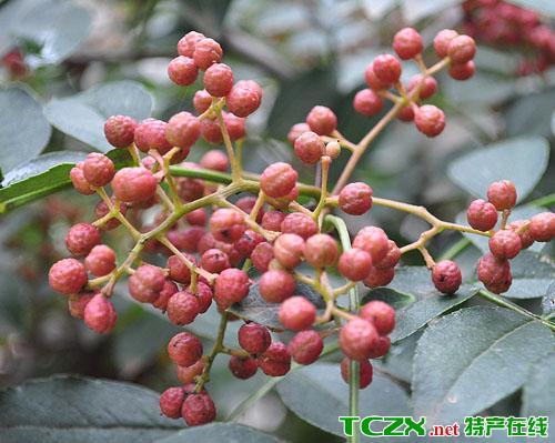 黑山谷花椒