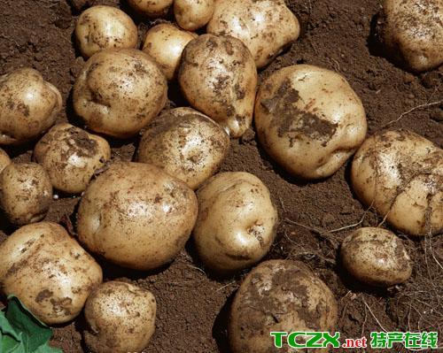 峨边马铃薯