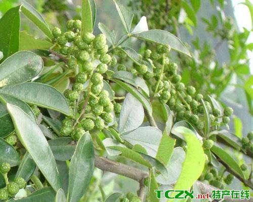 蓬溪青花椒