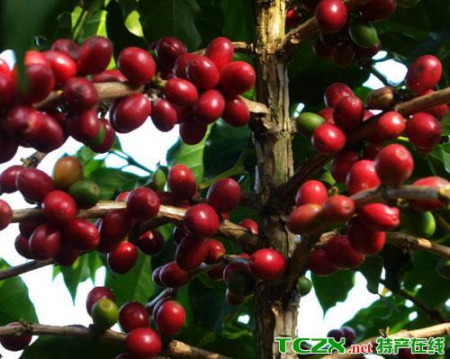宾川朱苦拉咖啡