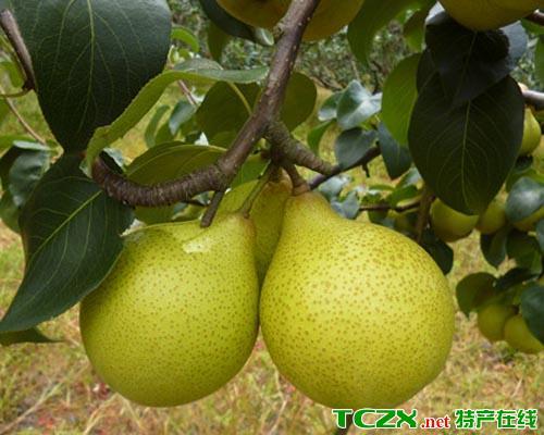 泸西高原梨