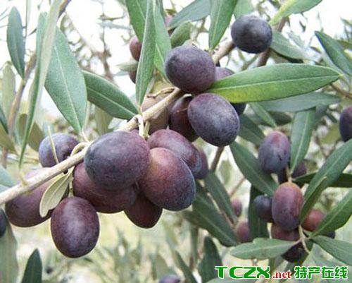 贺家坪油橄榄