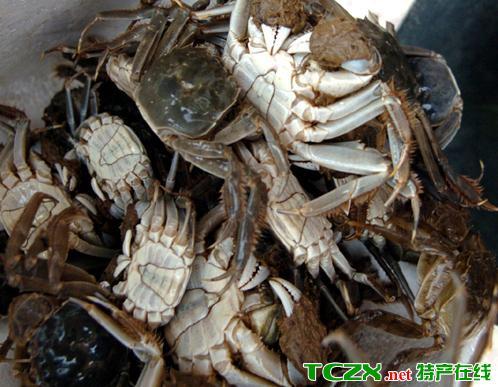 可鲁克湖中华绒螯蟹