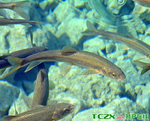 青海湖裸鲤