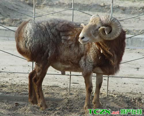 畜牧器械_阿勒泰羊介绍_阿勒泰羊是哪里的特产_农林牧渔_畜牧禽蛋_特产在线
