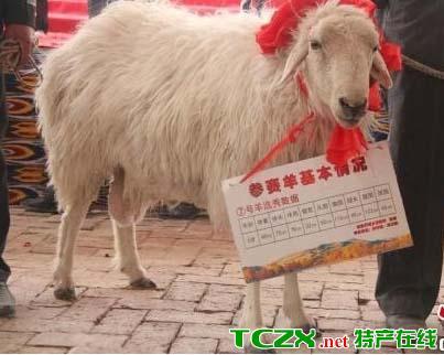 罗布淖尔羊