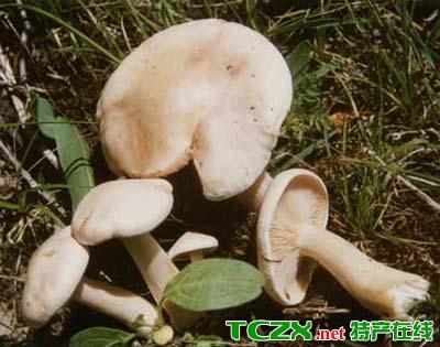 野生阿魏蘑菇