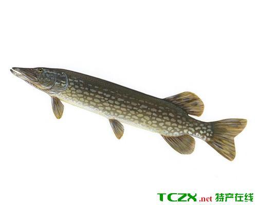 阿勒泰狗鱼