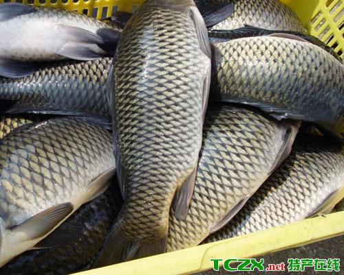 博斯腾湖草鱼