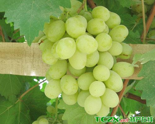 喀瓦克乡无核白葡萄