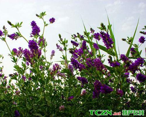 大叶紫花苜蓿